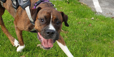 Pettrailer UK Boxer Smiling