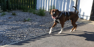 Pettrailer UK Boxer Trailing Dog