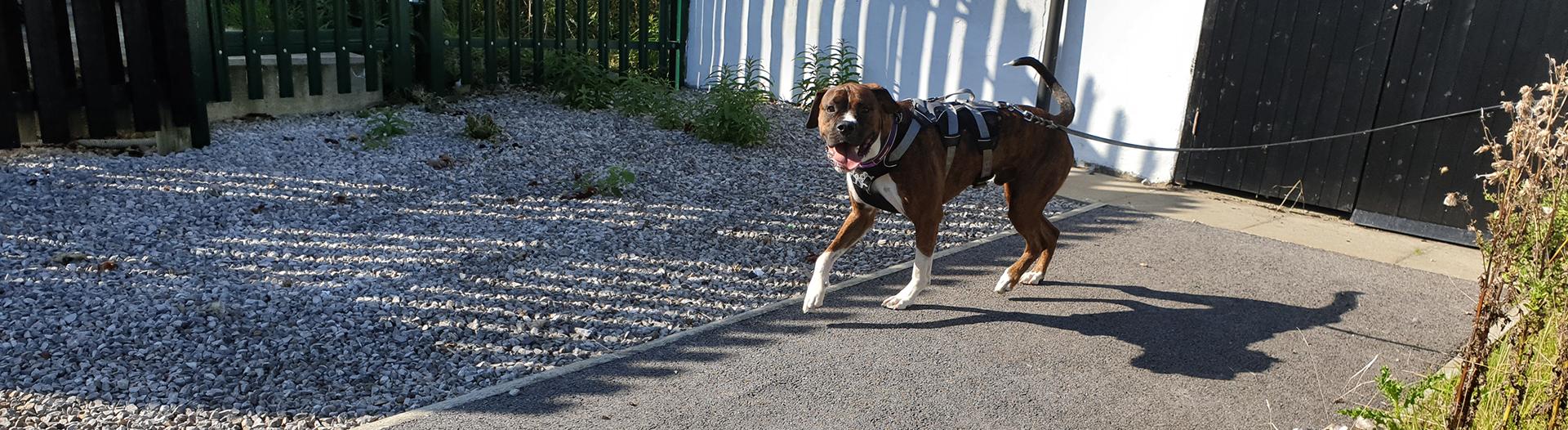 Pettrailer UK Boxer Trailing Dog